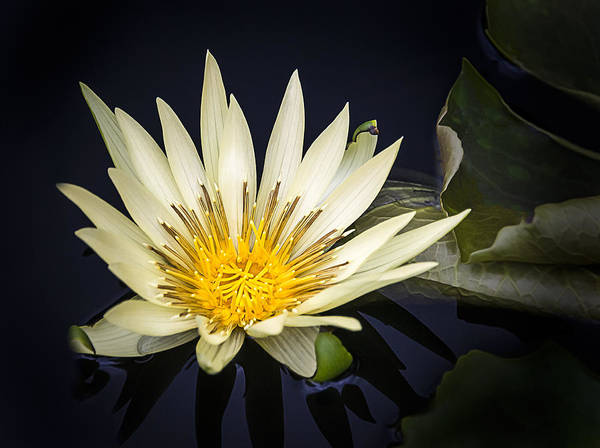 Photograph - Lotus II by Robert Mitchell