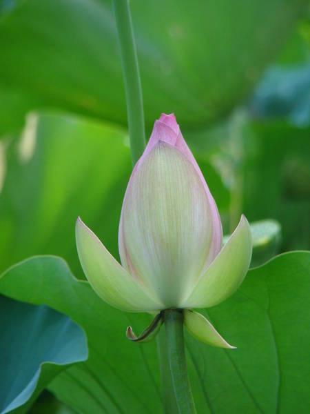 Lotus In Bloom Art Print