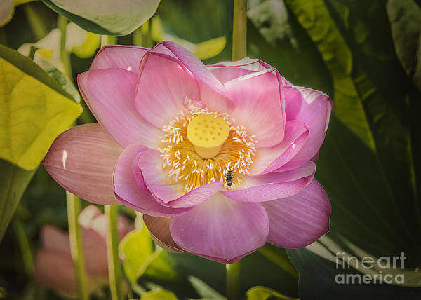Photograph - Lotus In The Pink by Terry Rowe