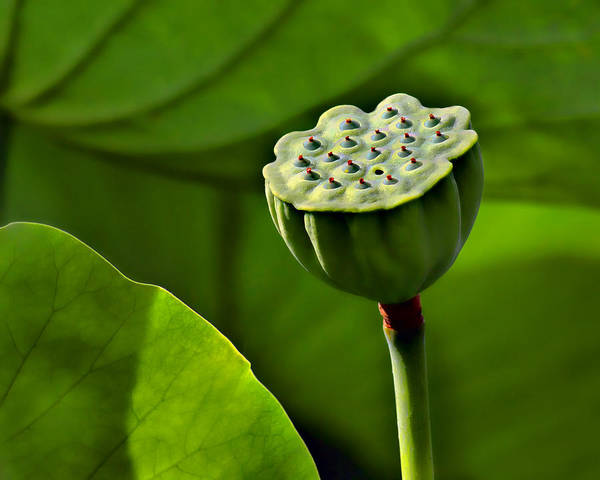 Lotus Seed Wall Art - Photograph - Lotus Lines by Nikolyn McDonald