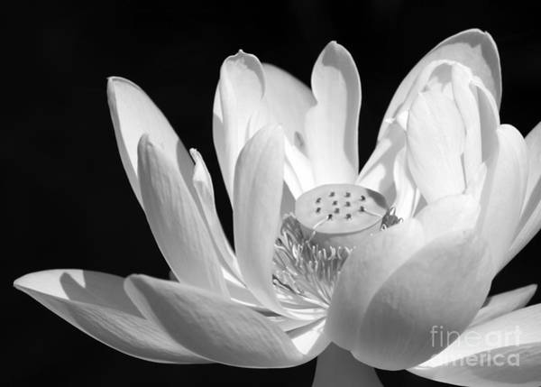 Photograph - Lotus Open To The Sun by Sabrina L Ryan