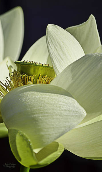 Photograph - Lotus Petals In The Breeze by Julie Palencia