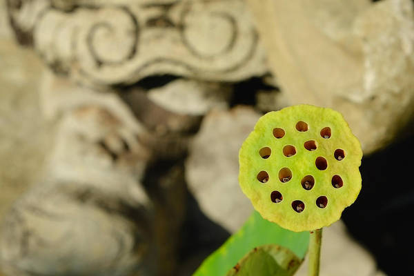 Photograph - Lotus Pod by August Timmermans