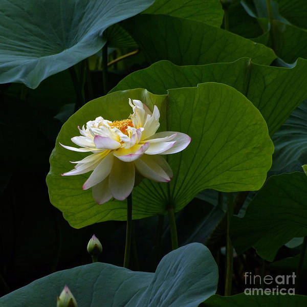 Photograph - Lotus Pond Loveliness --- Square Frame by Byron Varvarigos