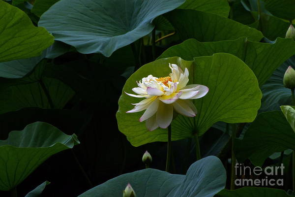 Photograph - Lotus Pond Loveliness -- Rectangular Frame by Byron Varvarigos