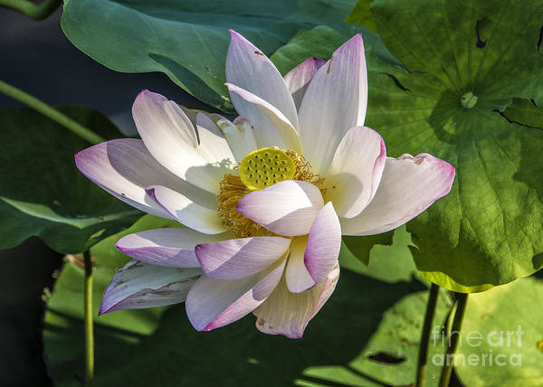 Photograph - Lotus The Sacred Lily by Terry Rowe