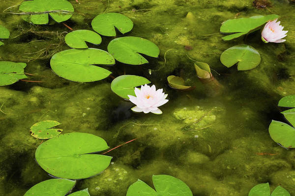 Symbolism Photograph - Lotus Water Lilies And Lily Pads On by Perry Mastrovito