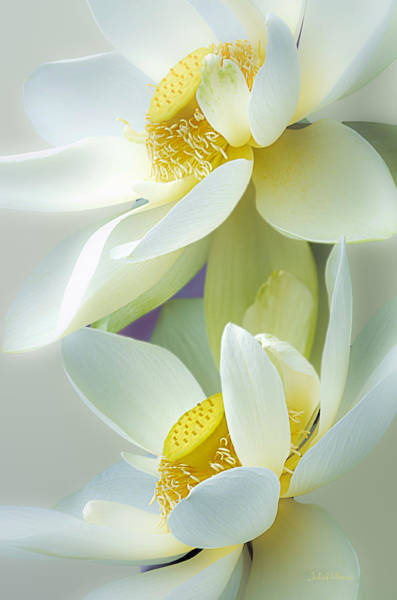 Photograph - Lotuses In Bloom by Julie Palencia
