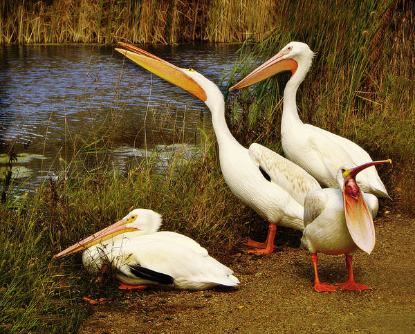 American White Pelican Wall Art - Photograph - Loud Mouth by Nikolyn McDonald
