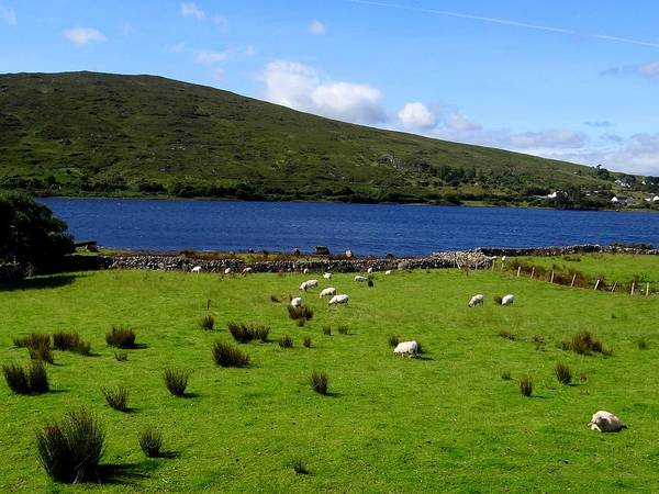 Photograph - Lough Bofin Sheep by Keith Stokes