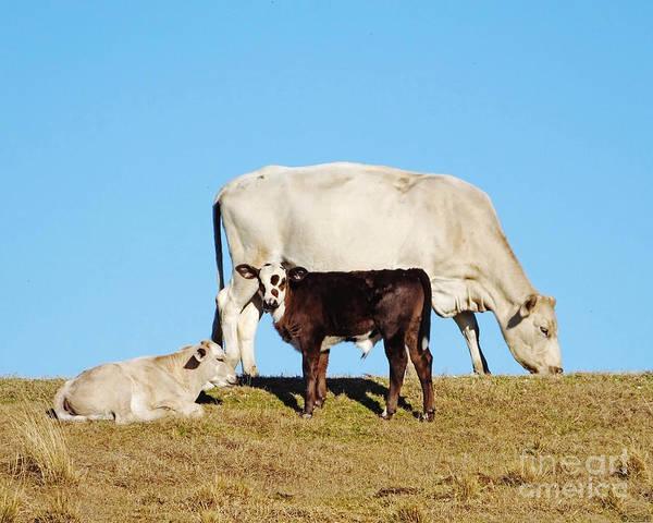 Photograph - Louisiana Levee Cows by Lizi Beard-Ward