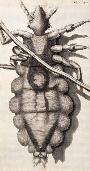 1665 Wall Art - Photograph - Louse by Natural History Museum, London/science Photo Library