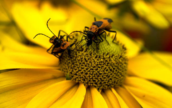 Photograph - Love Bugs by Heather Applegate