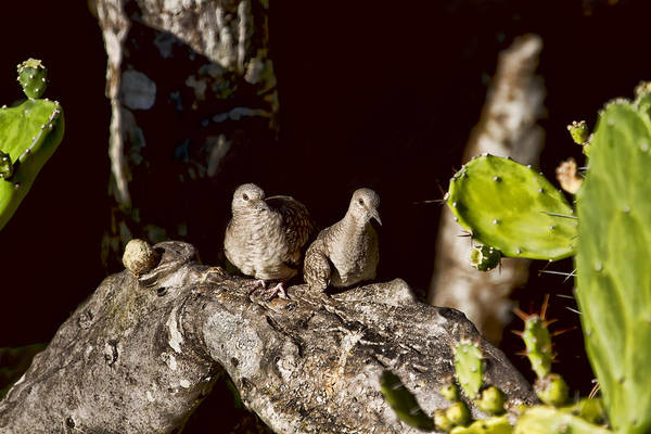 Photograph - Love Doves by Peggy Collins