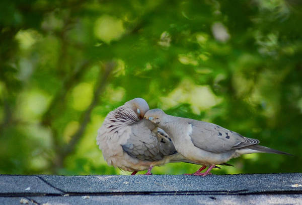 Love Doves  Art Print