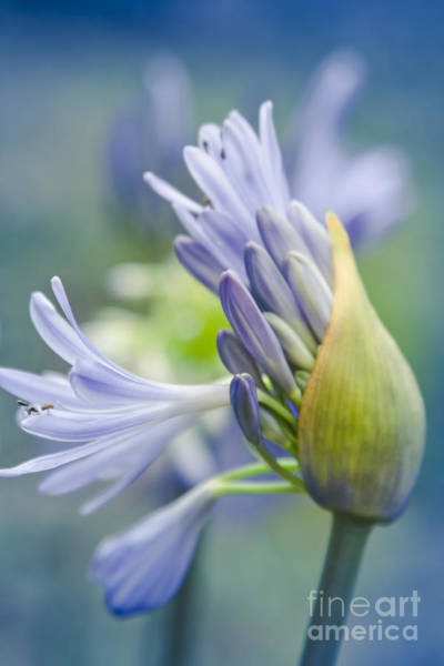 Agapanthus Photograph - Love Flower by Sharon Mau