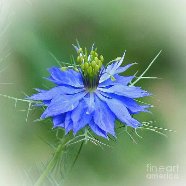 Love In The Mist Photograph - Love In A Mist Flower by Karen Adams