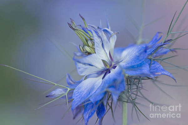 Love In The Mist Photograph - Love-in-a-mist by Jacky Parker