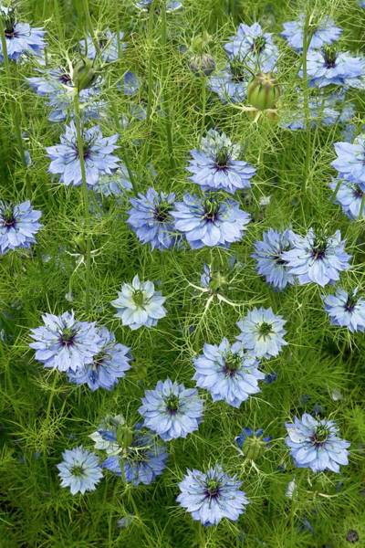 Love In The Mist Photograph - Love-in-a-mist (nigella Damascena) by Bob Gibbons/science Photo Library