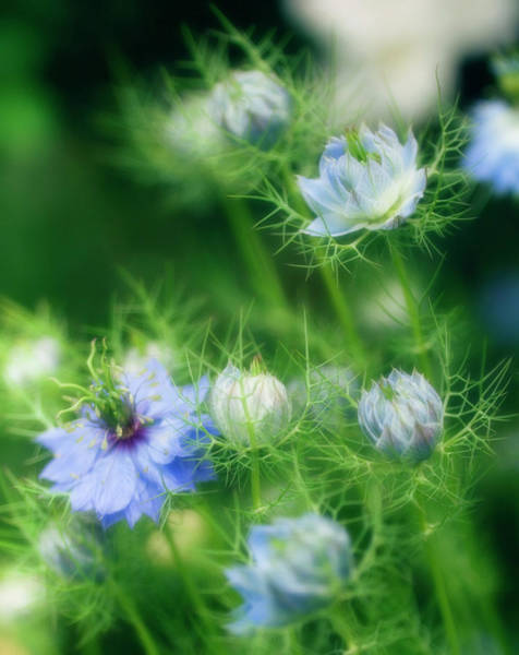 Love In The Mist Photograph - Love In A Mist (nigella Damascena) by Maria Mosolova/science Photo Library