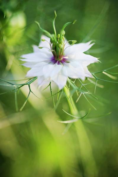 Love In The Mist Photograph - Love In The Mist (nigella Sp.) by Gustoimages/science Photo Library