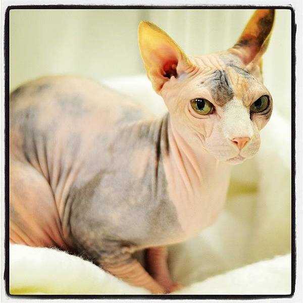 Charity Wall Art - Photograph - Love #sphynx #cat #cute #pet #adorable by Samantha Charity Hall