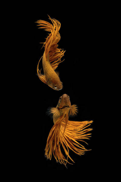 Aquarium Photograph - Love Story Of The Golden Fish by Ganjar Rahayu