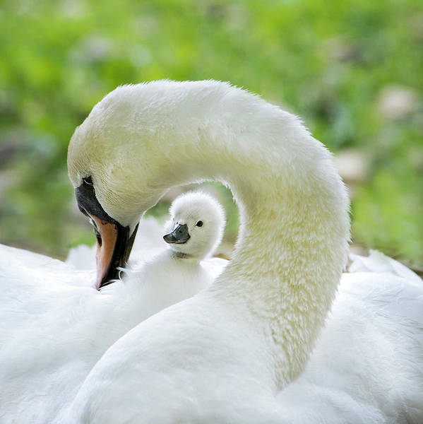Swan Photograph - Love Surrounds by Jacky Parker