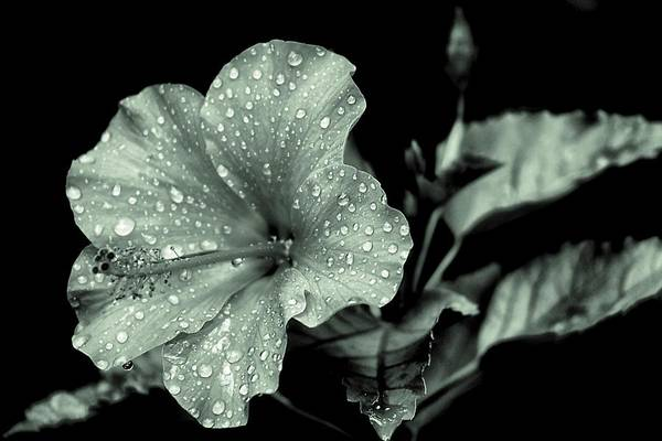 Photograph - Lovely Hibiscus In Monochrome by Beth Akerman