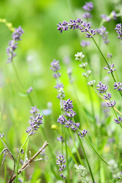 Photograph - Lovely Lavender by Trina  Ansel