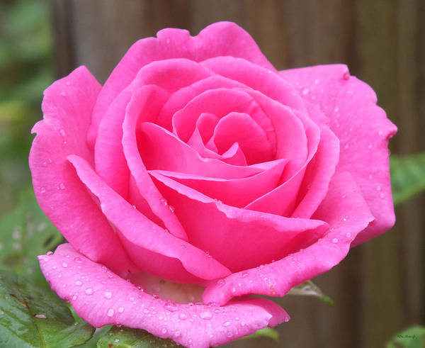 Photograph - Lovely Pink Rose by Duane McCullough
