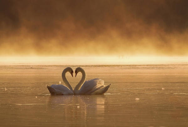 Swan Photograph - Lovers by Fproject - Przemyslaw
