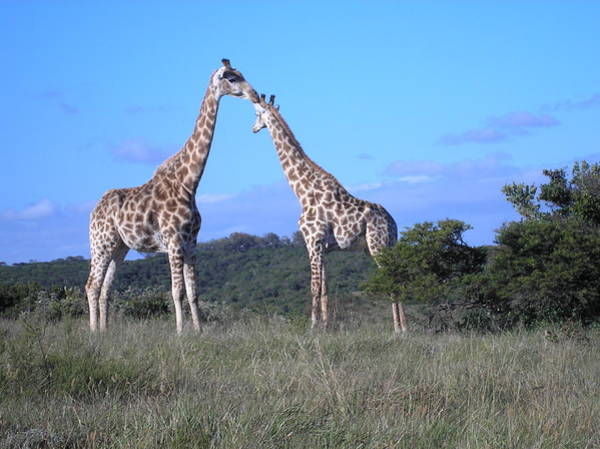 Photograph - Lovers On Safari by Karen Jane Jones