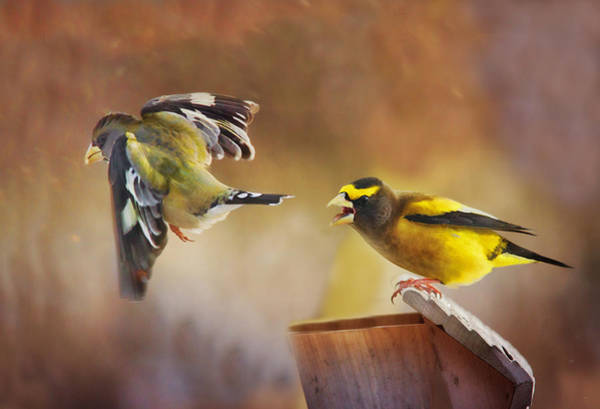 Bird Feeding Photograph - Lovers Quarrel by Susan Capuano
