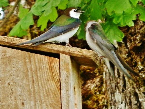 Violet-green Swallow Photograph - Loving Pair by VLee Watson
