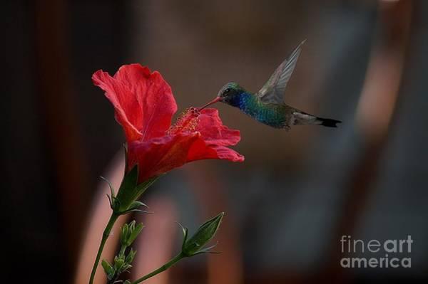 Photograph - Loving The Hibiscus by John  Kolenberg