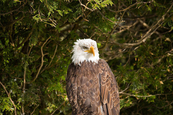 Haliaeetus Leucocephalus Photograph - Low Angle View Of A Bald Eagle by Panoramic Images