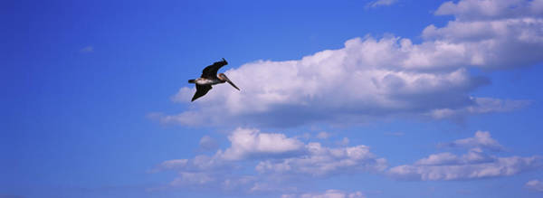 Wall Art - Photograph - Low Angle View Of A Brown Pelican by Animal Images