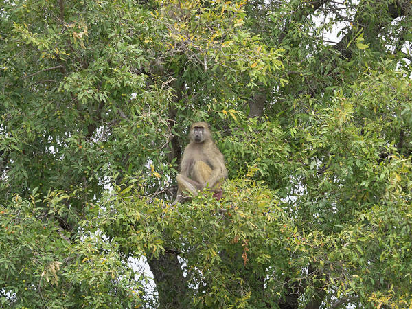 Okavango Delta Photograph - Low Angle View Of A Monkey On A Tree by Panoramic Images
