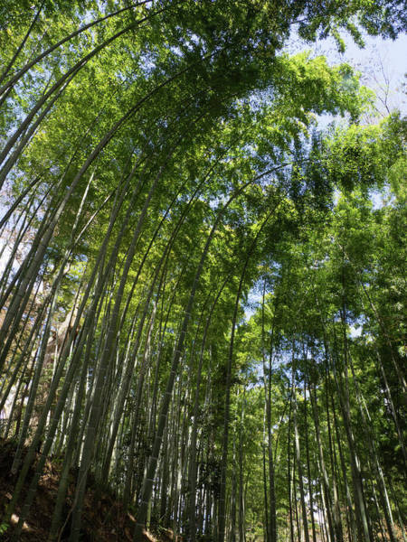 Bamboo Photograph - Low Angle View Of Bamboo Trees by Panoramic Images