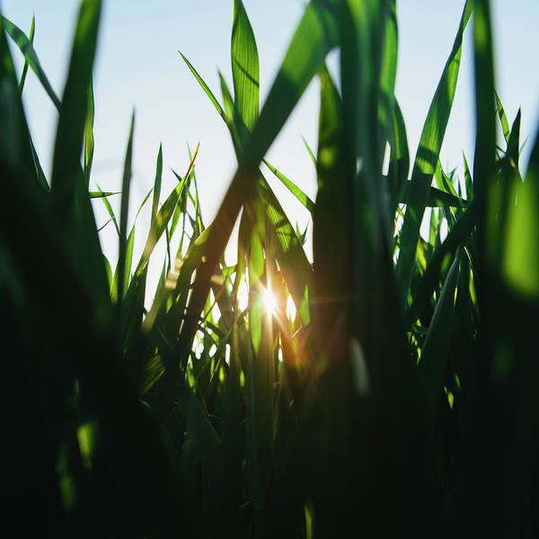 Cultivate Photograph - Low Angle View Of Green, Lush Field Of by Mint Images - Paul Edmondson
