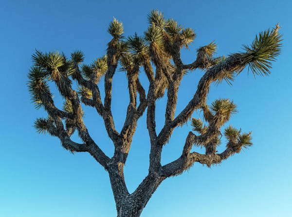 Riverside California Photograph - Low Angle View Of Joshua Tree, Joshua by Panoramic Images