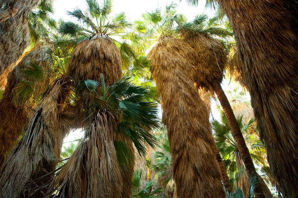 Riverside California Photograph - Low Angle View Of Palm Trees, Palm by Panoramic Images