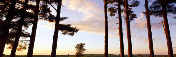 Pine Grove Photograph - Low Angle View Of Pine Trees, Iowa by Panoramic Images