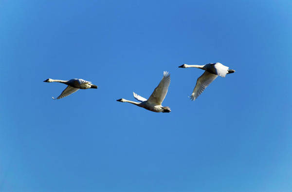 Tundra Swan Photograph - Low Angle View Of Tundra Swans Cygnus by Animal Images