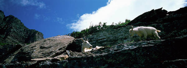 Goat Rocks Wilderness Wall Art - Photograph - Low Angle View Of Two Mountain Goats by Animal Images