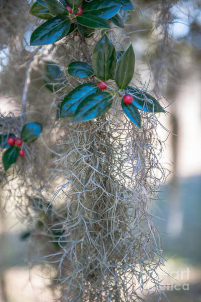 Photograph - Lowcountry Style Spanish Moss  by Dale Powell