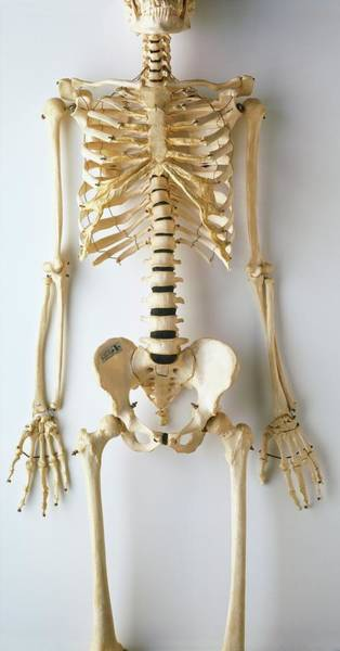 Hand Anatomy Wall Art - Photograph - Lower Half Of Human Skeleton by Dorling Kindersley/uig