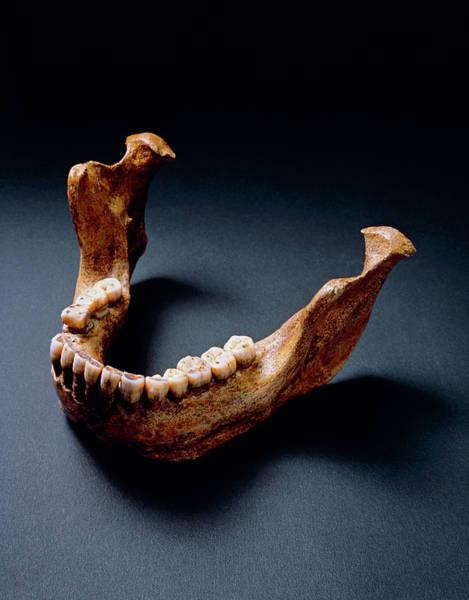 Wall Art - Photograph - Lower Jaw Bone Of Heidelberg Man by John Reader/science Photo Library