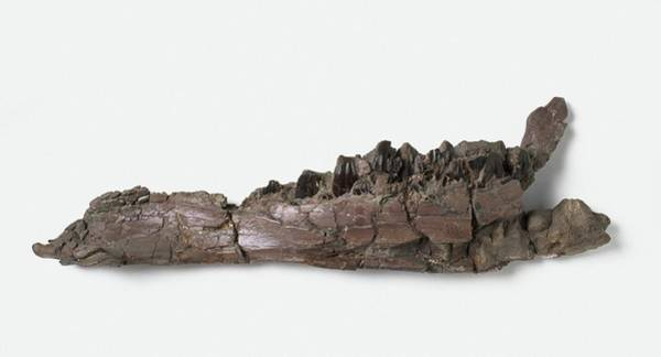 Wall Art - Photograph - Lower Jaw Of Iguanodon Dinosaur by Dorling Kindersley/uig